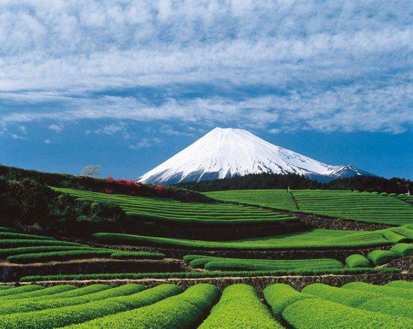 Tea Fields Mt. Fuji